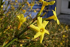 Jasminum nudiflorum.jpg
