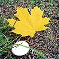 Jesienny liść klonu.jpg