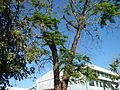 Jf9156Pterocarpus indicus Floridablanca Pampangafvf 02.JPG