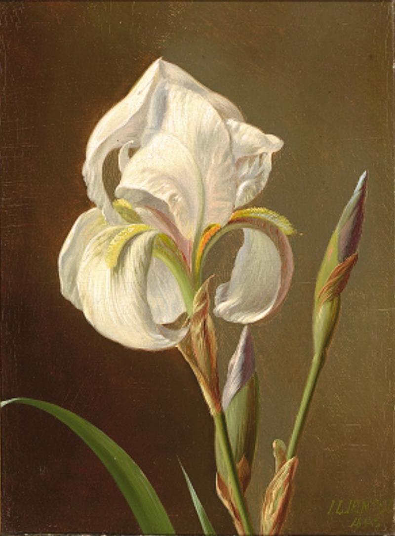 Johan Laurentz Jensen - Hvid iris - 1848.png