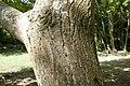 Juglans mandshurica var. sachalinensis 07.jpg