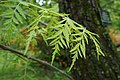 Juglans nigra 'Laciniata' (Variety of Black Walnut) (34796659410).jpg