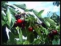 June Flower ^ Cherry Farming Endingen Kaiserstuhl - Master Seasons Rhine Valley Photography 2013 - panoramio (33).jpg