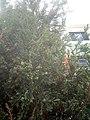 Juniperus chinensis at Akola, India1.jpg