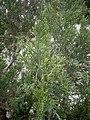Juniperus chinensis at Akola, India3.jpg
