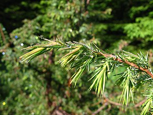English: Young shoots on Juniperus communis in...