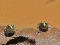 Juvenile African Bullfrogs (Pyxicephalus edulis) (6045768666).jpg