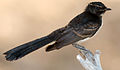 Juvenile Rhipidura leucophrys - Ingle Farm - 3.jpg