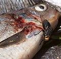 Kärpänen kalalla.jpg