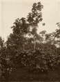 KITLV - 32593 - Kurkdjian - Soerabaja - Coffee planting with Hevea as intermediate culture - circa 1915.tif