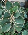 Kalanchoe fedtschenkoi 'Variegata' Plant 2000px.jpg