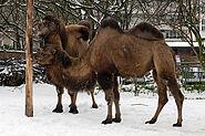 Kamele am Holzpfosten Zoo KA DSC 6645