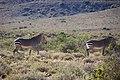 Karoo National Park 2014 33.jpg