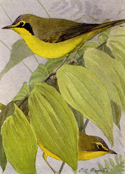 File:Kentucky Warbler NGM-v31-p317-D.jpg