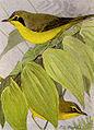 Kentucky Warbler NGM-v31-p317-D.jpg