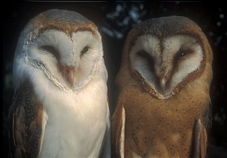Barn owl - Male Tyto alba alba (left) and female T. a. guttata barn owls in the Netherlands, where these subspecies intergrade