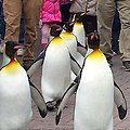King Penguins Marching (242668945).jpeg