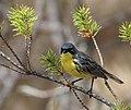 Kirtland's Warbler in a Jack Pine - USFWS.jpg