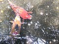 Koi at Byodo-In Temple, Oahu.JPG