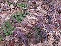Korina 2013-03-05 Mahonia aquifolium 1.jpg
