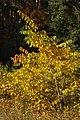 Korina 2013-10-22 Prunus serotina.jpg