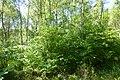 Korina 2014-06-06 Prunus serotina 4.jpg