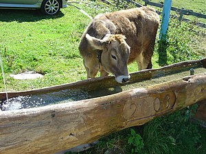 Kemater Alm (Austria) in September 2003. A cow...