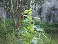 Kuppaimeni plant.jpg