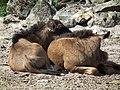 Kuschelnde Kälber Südliches Streifengnu Zoo Landau Juni 2011.JPG