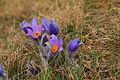 Kvetoucí koniklece v PP Kobylinec 30.jpg