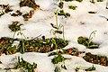 Kvetoucí sněženky v PP Sněženky ve Vysokém lese 43.jpg