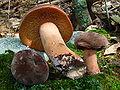 Lactarius corrugis 54984.jpg