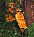 Laetiporus conifericola- Chicken of the Woods - Flickr - Dick Culbert.jpg