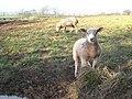 Lamb and mother at Tregair - geograph.org.uk - 1775839.jpg