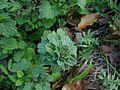 Lamium amplexicaule leaf2 (14652653643).jpg