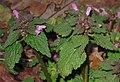 Lamium purpureum 5 RF.jpg