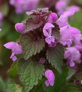 Lamiaceae - Lamium purpureum L.