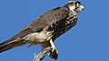 Lanner falcon, Falco biarmicus, at Kgalagadi Transfrontier Park, Northern Cape, South Africa (34415574882).jpg