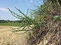 Lappula squarrosa (s. str.) sl44.jpg
