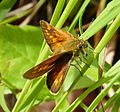 Large Skipper. female. Ochlodes sylvanus (15611127363).jpg