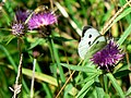 Large White on Lesser Knapweed - geograph.org.uk - 922077.jpg