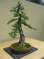 Larix laricina bonsai by Nick Lenz.jpg