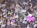Lathyrus latifolius Tallo 2011-6-23 SierraMadrona.jpg