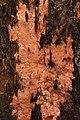 Lausanne 03.08.2017 Rhodonia placenta (36864134910).jpg