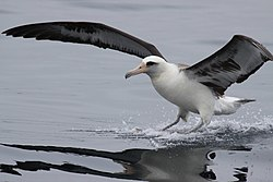 Laysan Albatross in Aleutians by USFWS.jpg