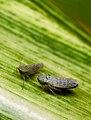 Leafhopper.jpg