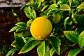 Lemon 1 2018-01-23.jpg
