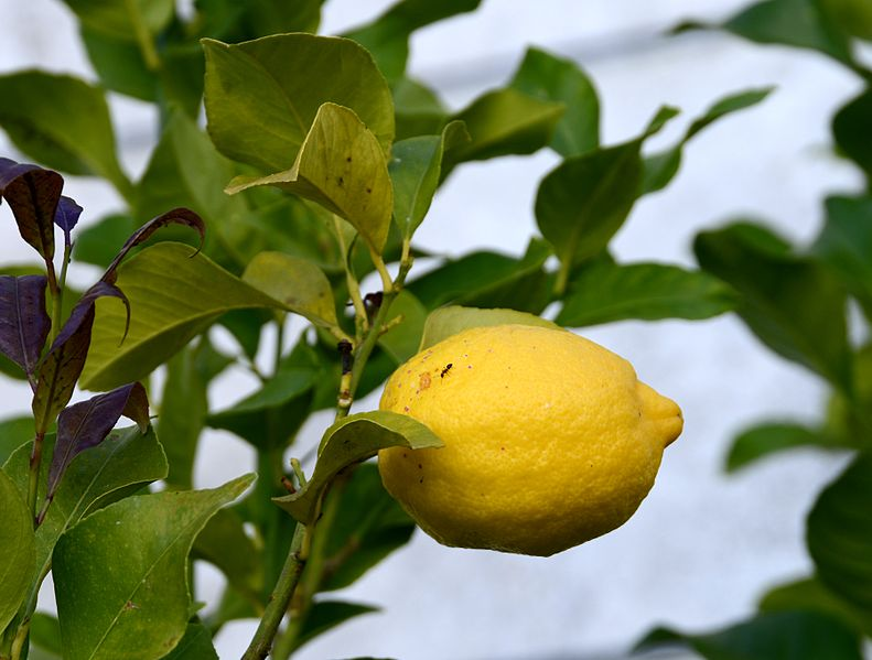 File:Lemon April 2015-1.jpg