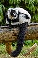 Lemur (25990217137).jpg