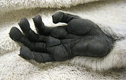 Close-up of a ring-tailed lemur's hands, showing black skin and dermal ridges